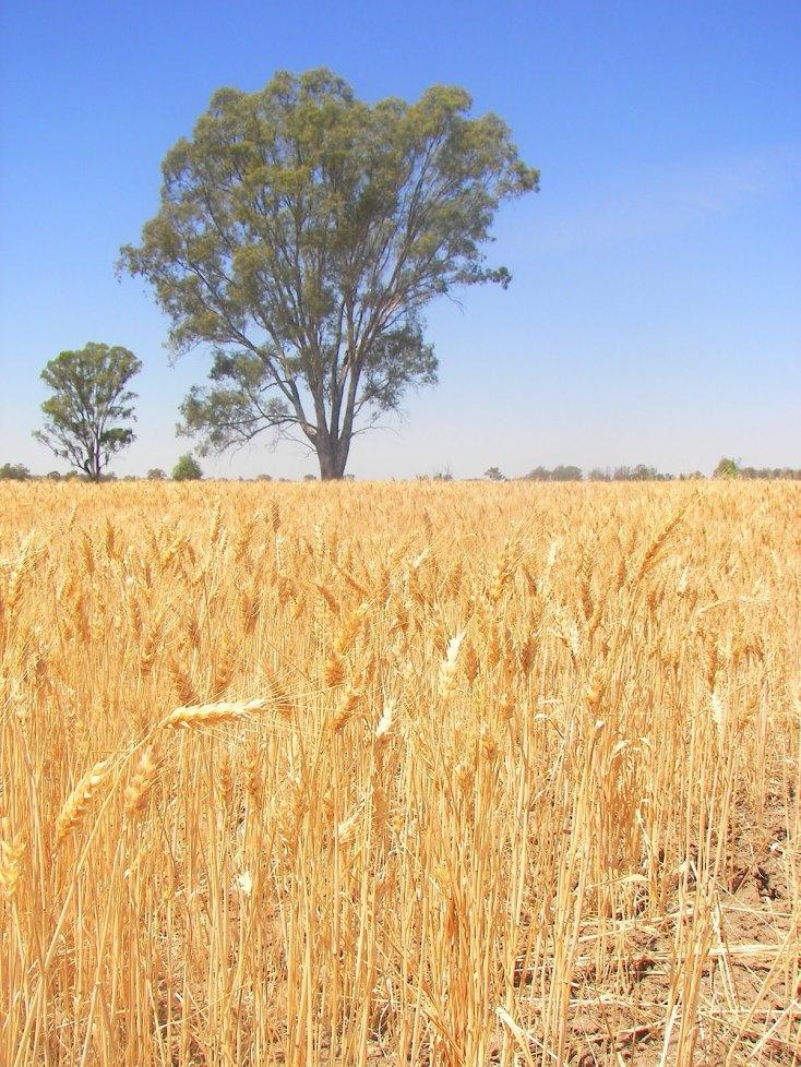 044b8-wheat