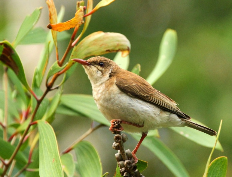 Brown-backed Honeyeater