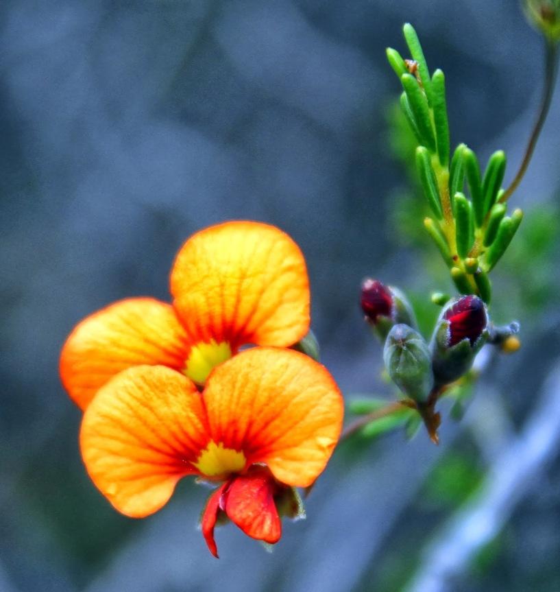 2d866-silkyparrot-peadillwyniasericea