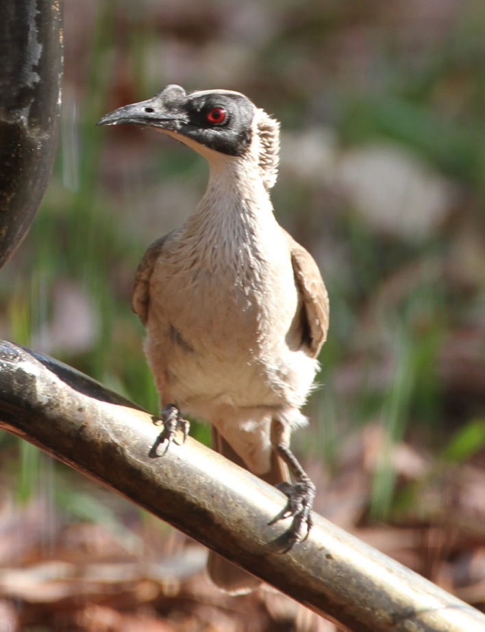 Silver-crowned Friaribird , Gregory National Park (NT)