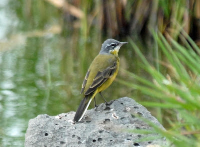 [Eastern+Yellow+Wagtail.jpg]