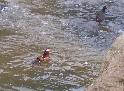 [Mandarin+Duck_Dights+Falls6.jpg]