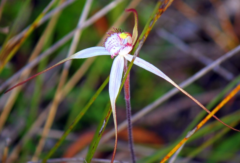 3ddd0-spiderorchidspp