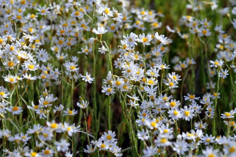 8278e-daisies
