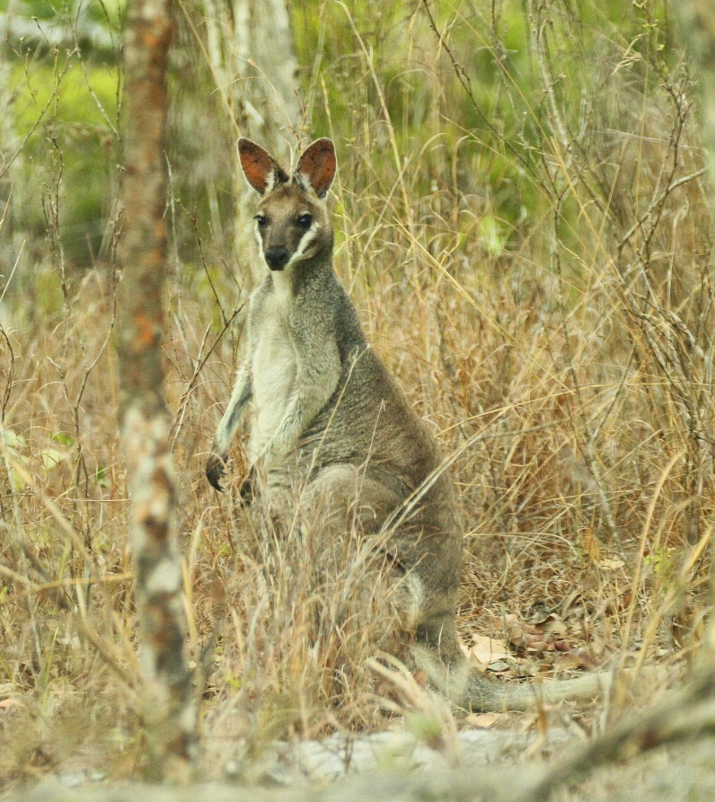 Bridled Wallaby
