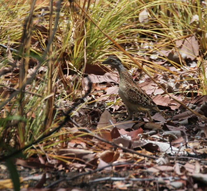 a44a6-chestnut-backed2bbutton-quail2b1