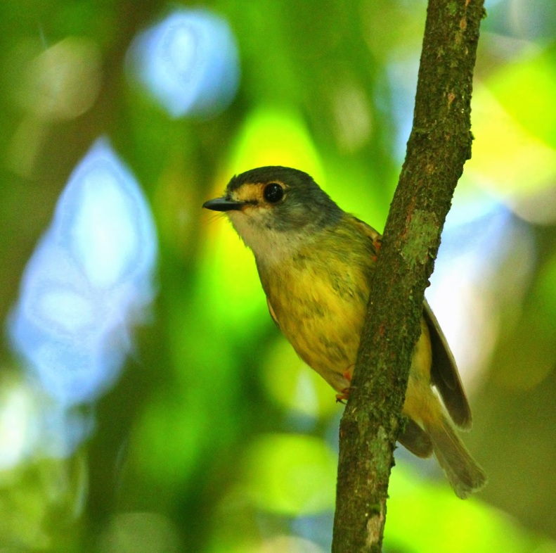 Pale-headed Robin