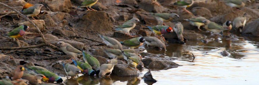 cropped-gouldian-flock-15.jpg