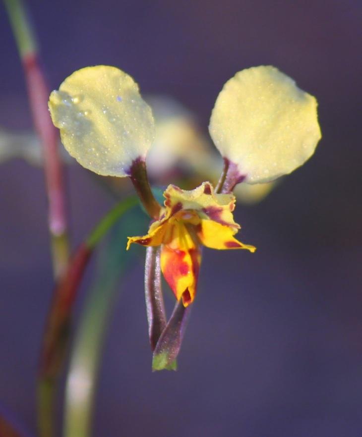 e8eeb-leopardorchid28diurispardina292