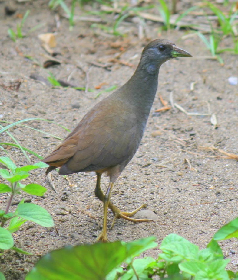 Pale-vented Bush-hen