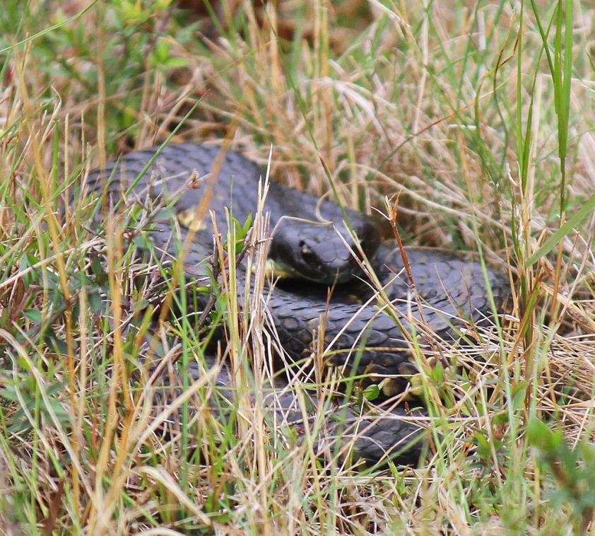 Tiger Snake (black Tasmanian subspecies (Freycinet NP, Tas)