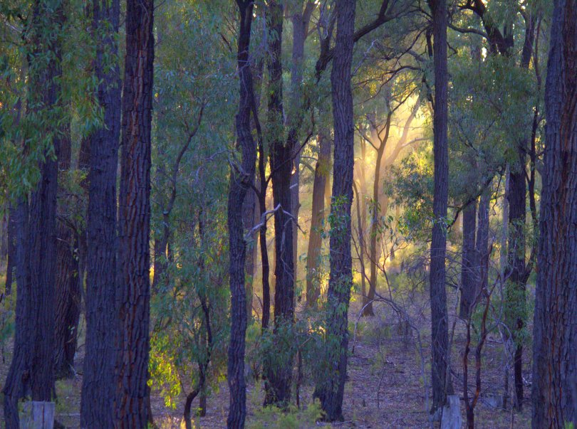 Vic Box Ironbark Forest a