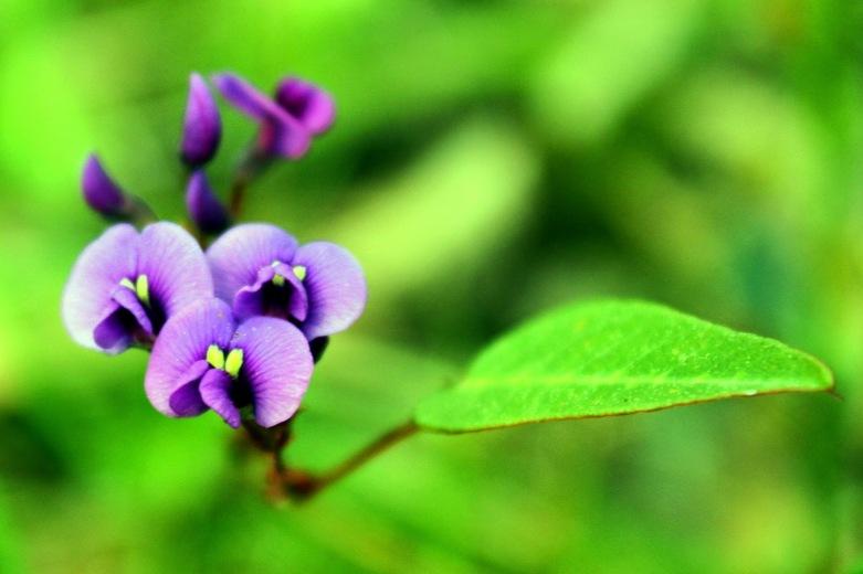 2e5a6-purple2bcoral2bpea2bhardenbergia2bviolacea