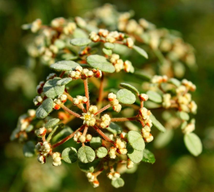 eeac4-australian2bdusty2bmiller2bspyridium2bparvifolium